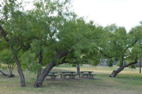 Mesquite trees provide shade,  grace and beauty to the nearby park.